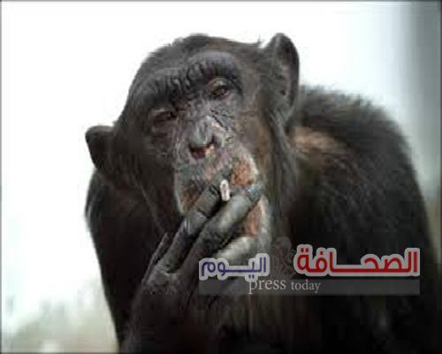 """قاضية أمريكية ترفض أطلاق سراح الشمبانزى""""كيكو"""""""