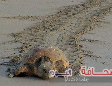 البيئة العمانية تصدر كتاباّ عن السلاحف البحرية