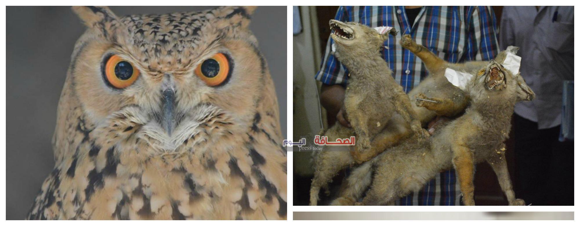 بالصور .. ضبط صاحب مزرعة بحوزته متحف للحيوانات البرية بينهم بومة فرعونية