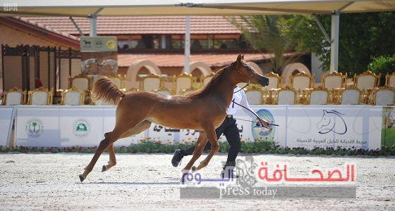 275 جواد يشاركون فى بطولة جمال الخيول العربية بالسعودية