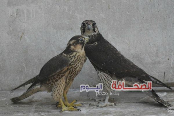 بالصور .. إطلاق سراح 44 صقر بمحمية وادى الريان بقرار من النائب العام
