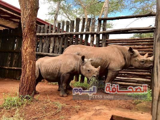 إعادة وحيد القرن المهدد بالإنقراض إلى موطنها