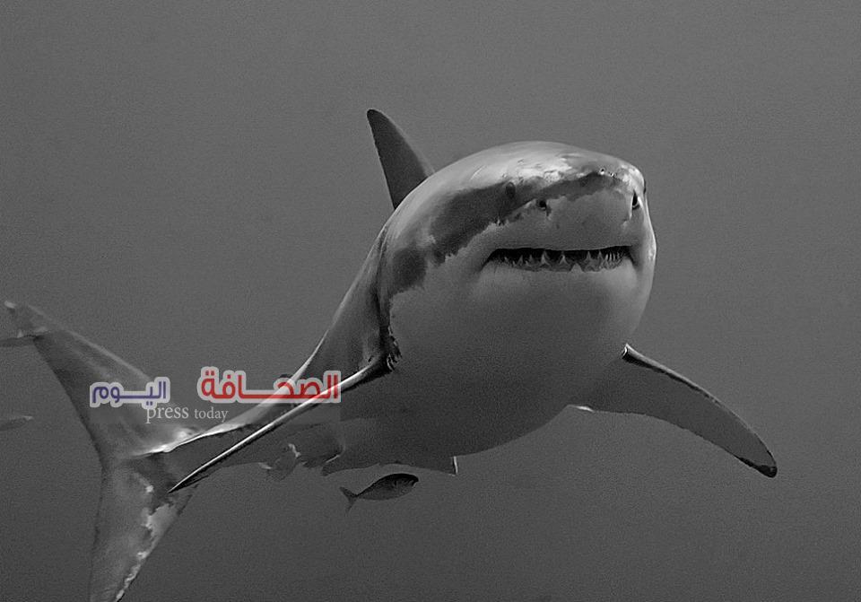 بالصور.. إطلاق سراح 12 قرش نادر وترسة بحرية مهددة بالانقراض