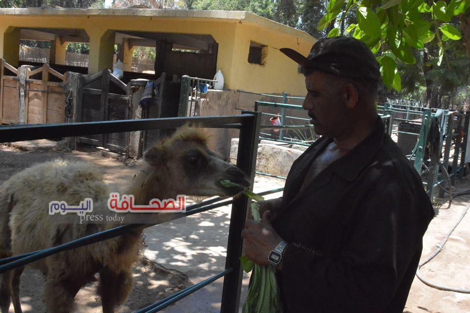 بالصور .. مولود جديد للجمل المغربى بحديقة الحيوان