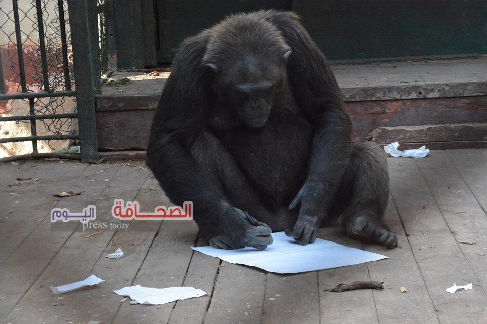 بالصور ..أنثى الشمبانزى لوزة أول فنانة تشكيلية بحديقة الحيوان