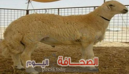 تعرف على: أغلى خروف بالعالم