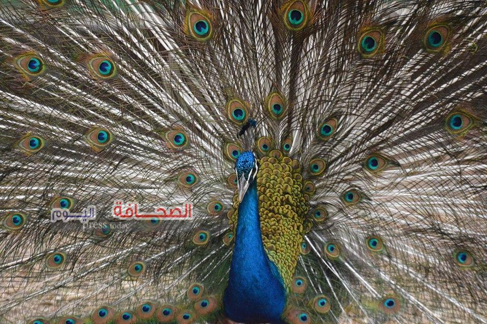 بالصور .. بدء موسم تزاوج الطاووس الهندى بحديقة حيوان الجيزة