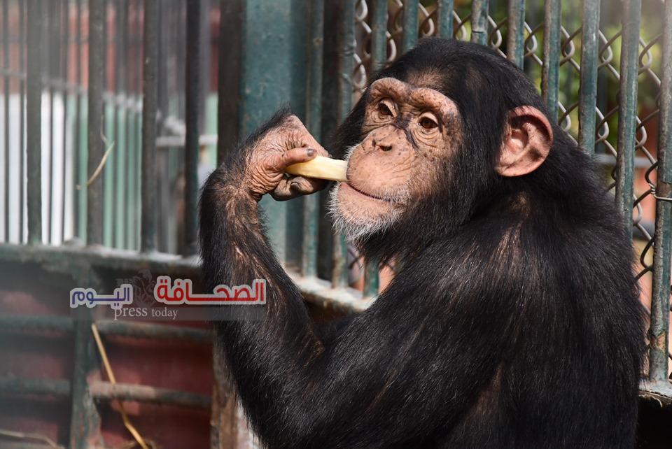 بالصور .. الشمبانزى دودو تحتفل بعيد ميلاده السابع
