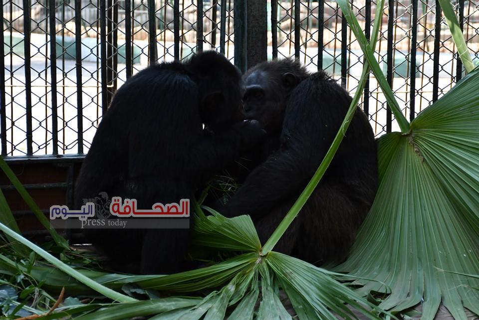 بالصور .. قبلات الشمبانزى لوزة ومشمش تجذب زوار حديقة الحيوان فى عيد الحب