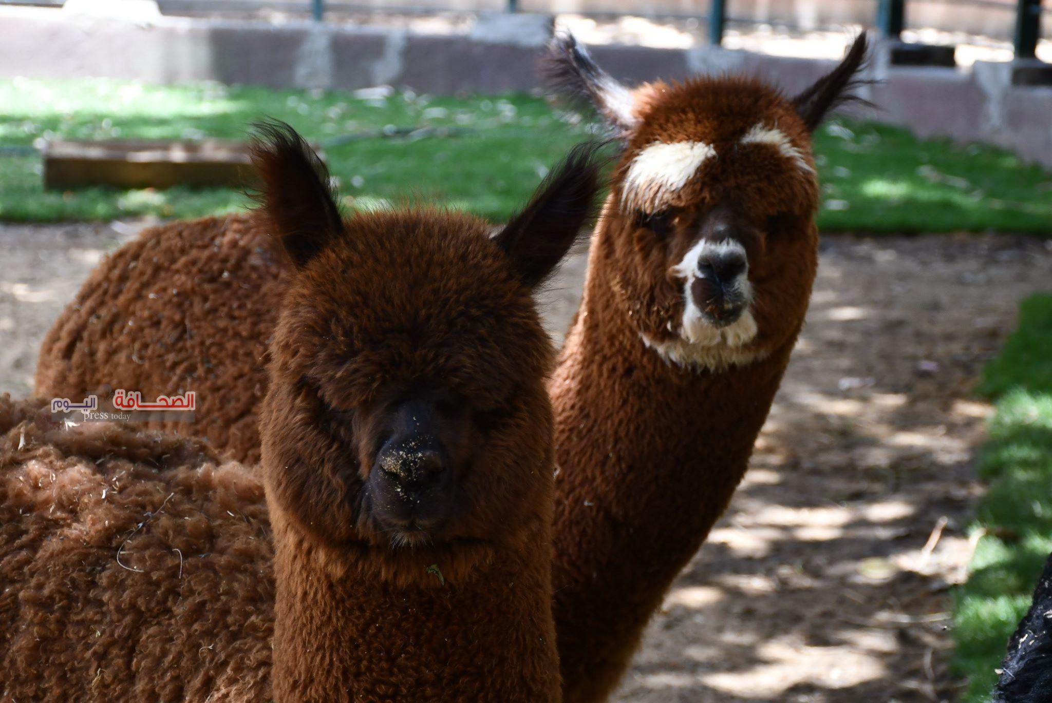 بالصور .. حديقة الحيوان بالجيزة تستقبل جمل البكة الامريكى