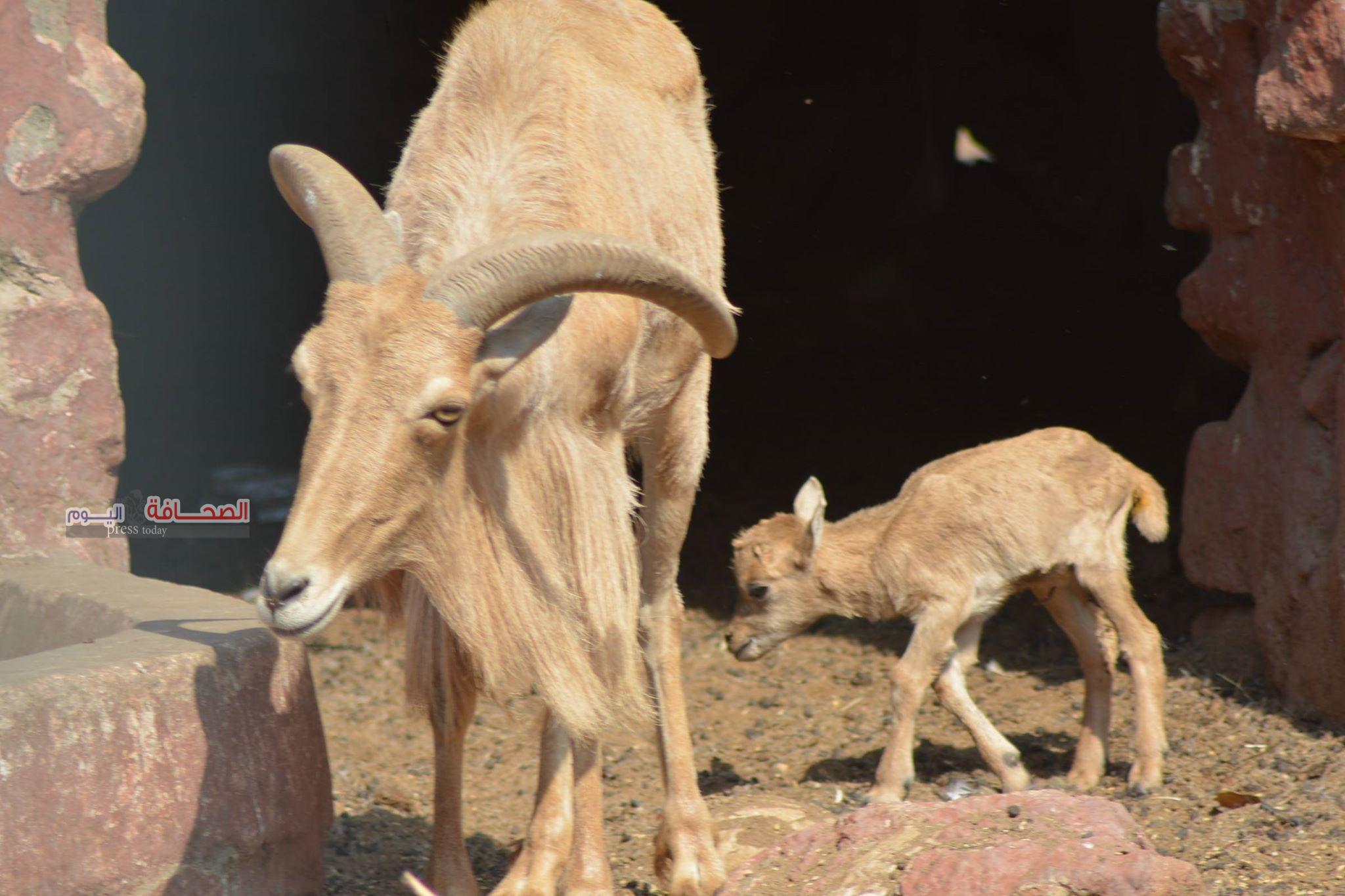 بالصور .. مولود جديد للكبش الآروى المهدد بالانقراض بحديقة حيوان الجيزة