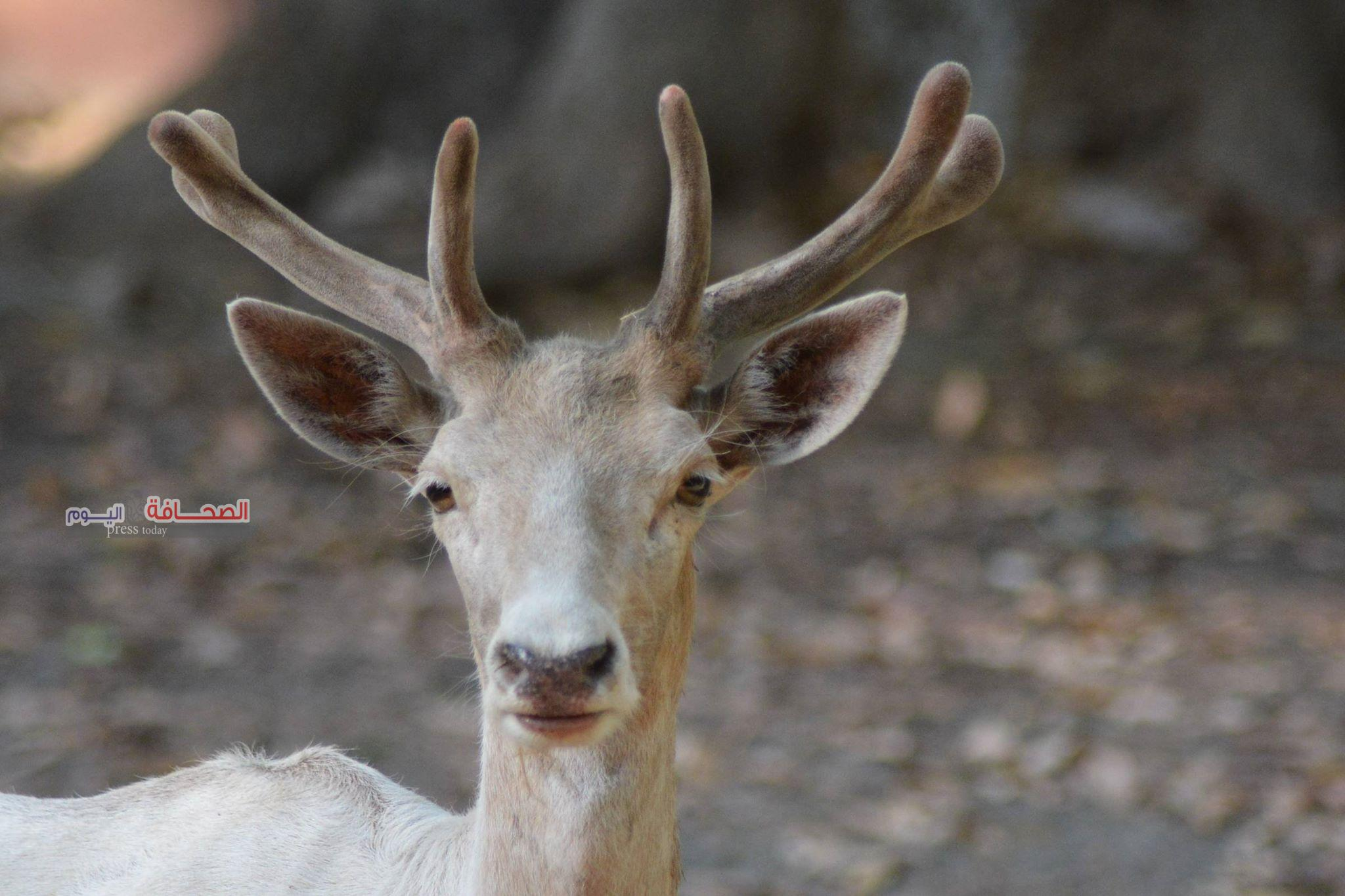 بالصور .. حديقة الحيوان تضع خطة لزيادة مواليد إناث الايل الأوربى النادرة