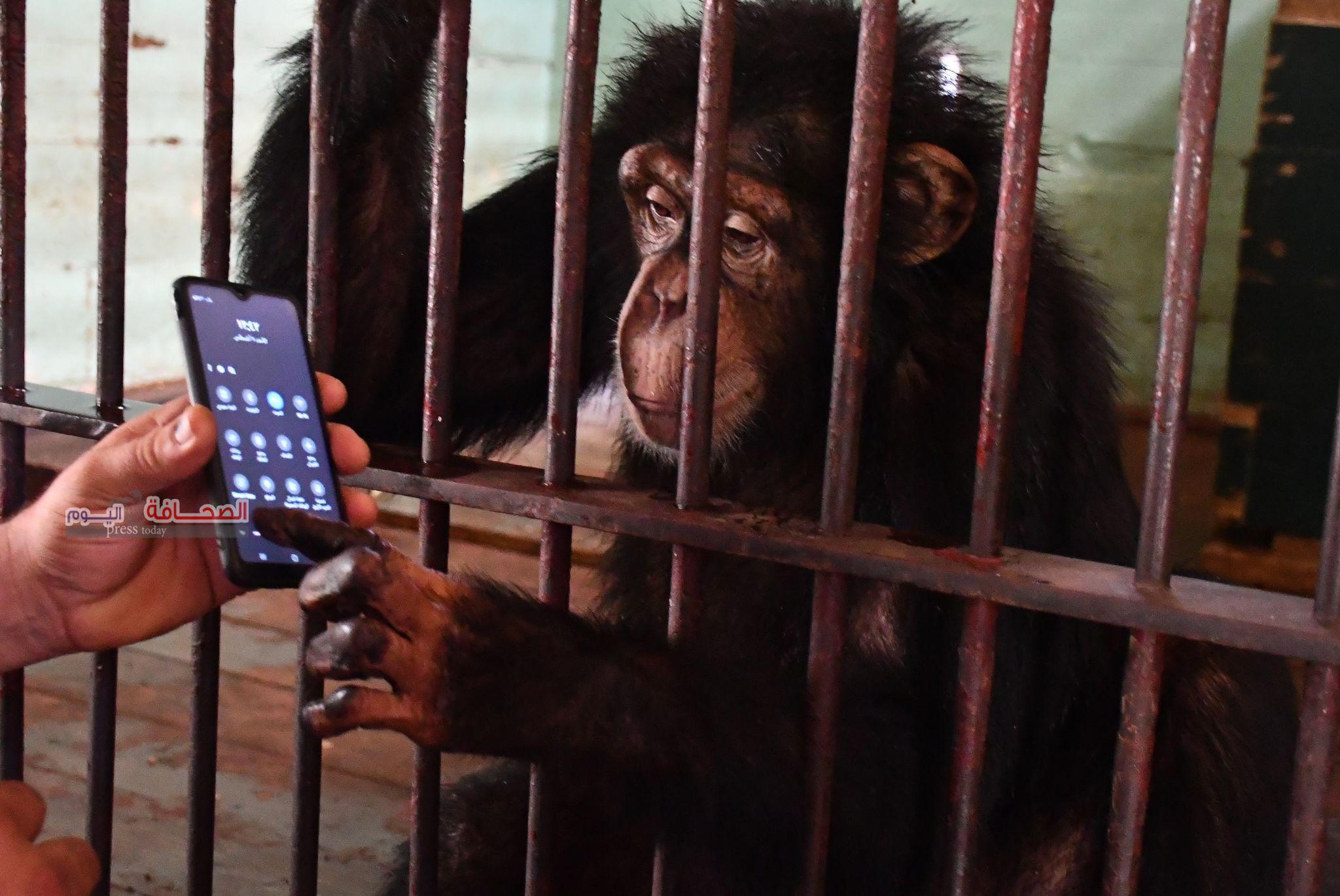 """بالصور .. الشمبانزى """"دودو""""يتصفح الفيس بوك مع حارسه الخاص"""
