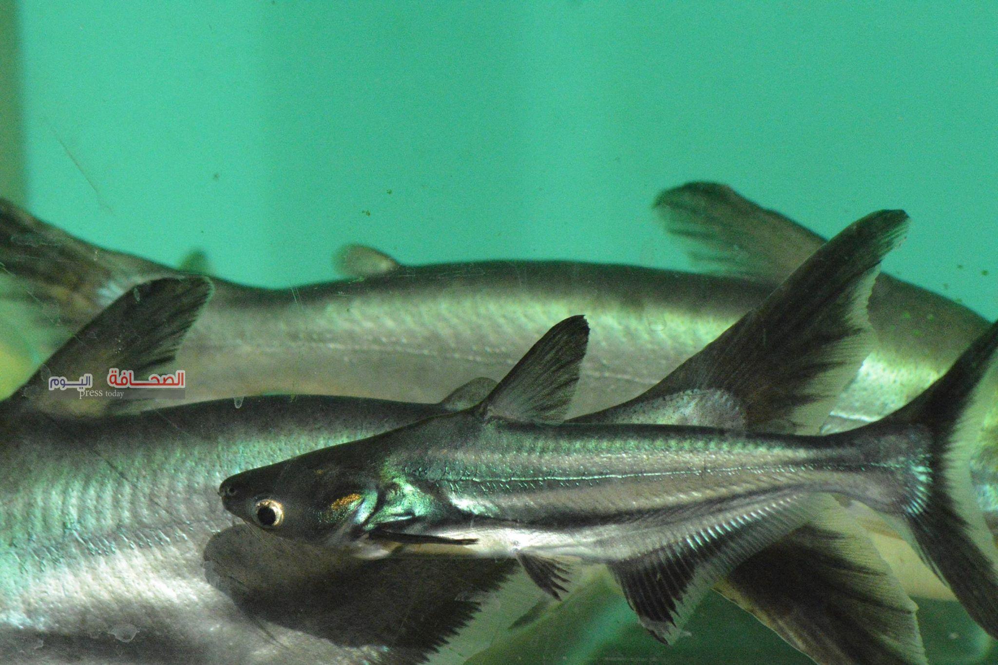 بالصور ..  تفريغ بيض سمكة بانجسيوس الاسيوية النادرة بحديقة الأسماك