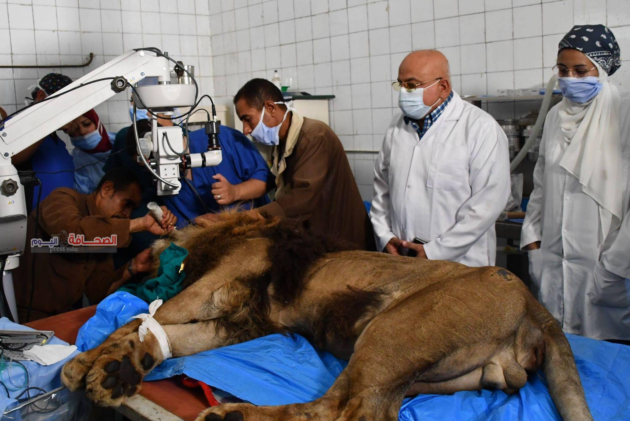 """بالصور .. الأسد """"هوجان"""" يخضع لعملية جراحية ناجحة.. تعرف عليها"""
