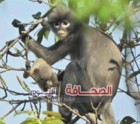 إكتشاف نوع نادر من القردة مهددة بالإنقراض