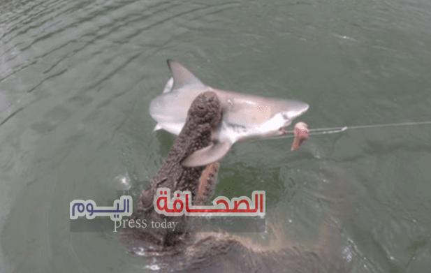 تمساح يلتهم سمكة قرش كان عالقآ فى سنارة صيد