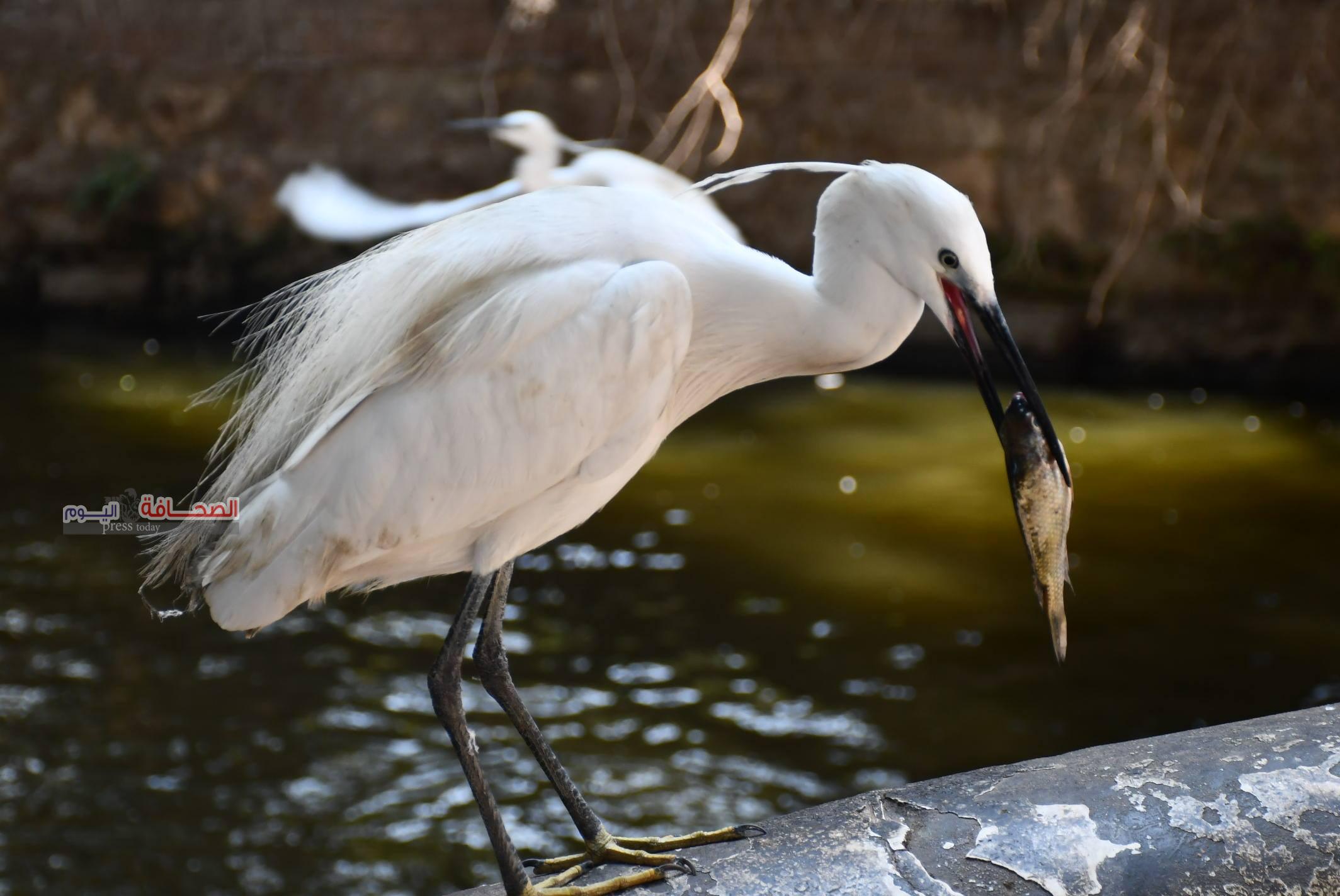 بالصور .. وصول طائر البلشون الامريكى صائد الاسماك لحديقة حيوان الجيزة